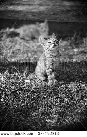 Tabby Kitten Resting In The Garden. Bw Photo