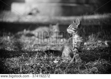 Tabby Kitten Sitting In The Summer Garden. Bw Photo