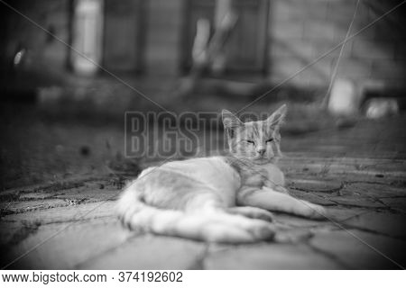 Yong Cat Resting In The Summer Yard. Bw Photo