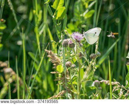 Cabbage White Butterfly (pieris Brassicae) Feeding On A Purple Flower