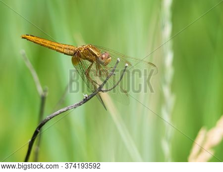 The Black-tailed Skimmer (orthetrum Cancellatum) Dragonfly On A Blade Of Grass.