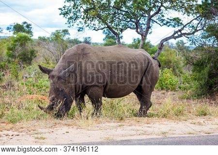 Travel to South Africa. African white rhino with horn on its nose grazes near a dirt road. Famous Kruger Park. Cloudy summer day. The concept of exotic, ecological and photo tourism