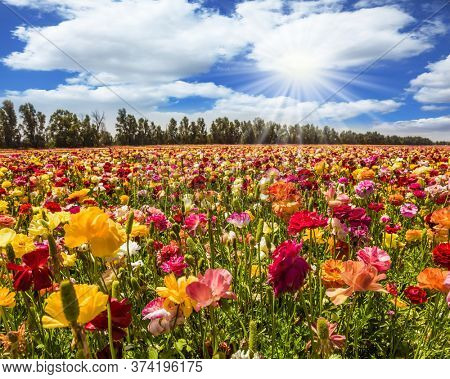 Magnificent flower carpet of multicolor garden buttercups - ranunculus. Israel. Hot sun and white clouds on a fine day. The concept of botanical, environmental and photo tourism