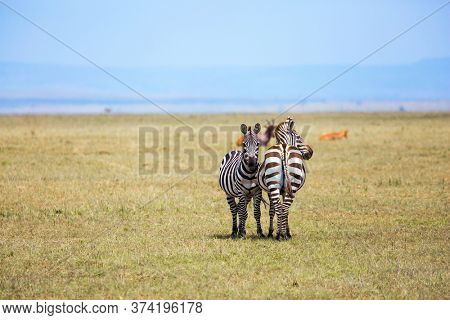 Charming symmetrical zebras graze together. Kenya in the spring. Magnificent trip to the African savannah. Ecological, active and phototourism concept