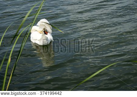 The Swan Hid His Head Under The Wing And Is Resting. One Bird Is An Adult  Has White Feathers.the Sw