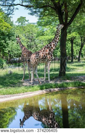 Chicago, Il Usa, June 23, 2018, A Two Giraffes With Reflections In Rain Paddle At  At Brookfield Zoo