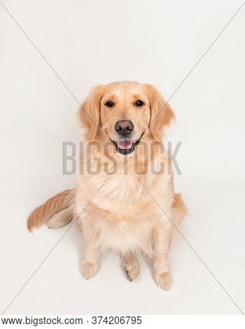 Cute Portrait Of A White Dog Golden Retriever Looking In Camera. Close Up Portrait Of White Retrieve