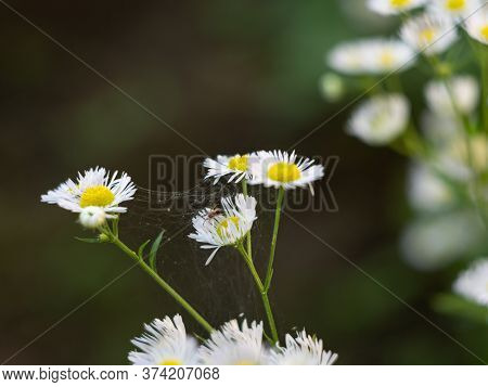 Blooming Small White Daisy. Thin Web Between The Flowers.