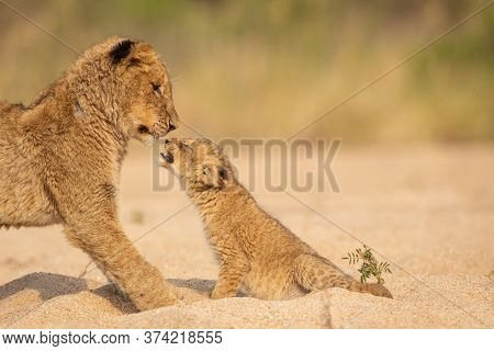 Baby Lion Greeting A Bigger Brother In Warm Afternoon Light Sitting In Sandy Riverbed In Kruger Nati
