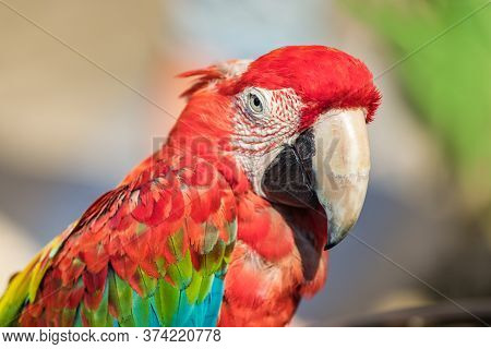 Portrait Of A Red - Green Macaw Parrot Profile View, Closeup, Outdoors.