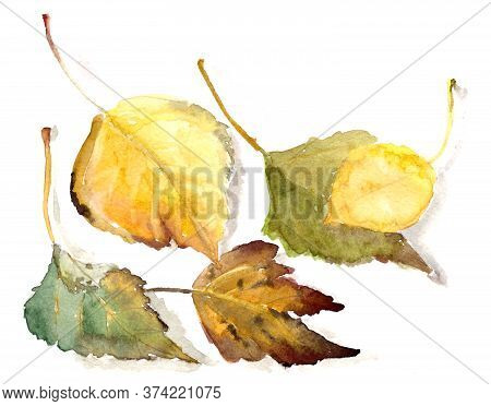 Watercolor Drawing Botanical Sketch, Autumn Poplar Leaves On A White Background