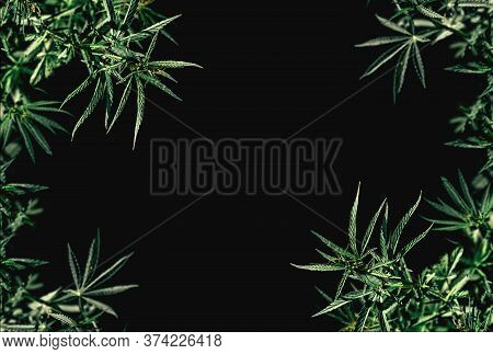 Border Of Green Cannabis Leaves On A Black Background. Medical Marijuana. Isolated Black Copy Space
