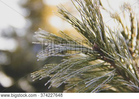 Branches Ate In Frost In Freezing Weather. Frost Froze Nature
