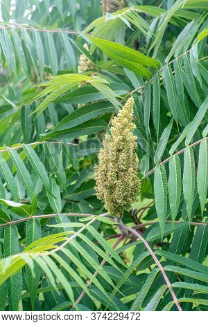 Staghorn Sumac Or Velvet Sumac (rhus Typhina). Close View.