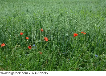 Green Oat Ears Of Wheat.oats Growing In A Field