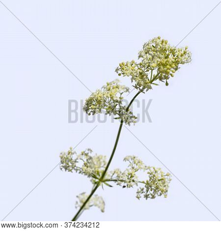 Stalk Of A Hedge Bedstraw With Small White Flowerets, Close-up Isolated On A Light Background. Honey