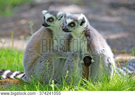 Ring-tailed Lemur With A Baby