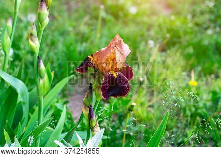 Dark Blooming Irises Xiphium (bulbous Iris, Sibirica) Flower On Green Leaves Ang Grass Background In