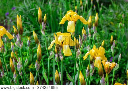 Light Yellow Blooming Irises Xiphium (bulbous Iris, Sibirica) Flowers On Green Leaves Ang Grass Back