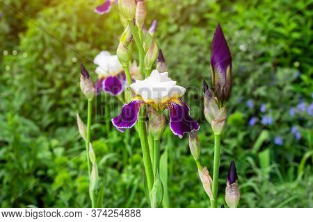 Bright Purple, White, Blue And Violet Blooming Iris Xiphium (bulbous Iris, Sibirica) Flowers On Gree