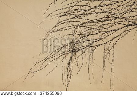 Plain Wall, Background, Texture. Fencing, Colored In Beige Color With The Creeping Vines. Plastered