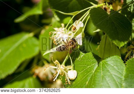 Bee Picking Honey From Lime Linden Flowers, Close Up. Tree Blooming. Herbal Tea. Green Leaves.