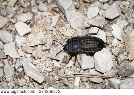 A Big Black Carrion Beetle (silpha Carinata, Silphidae) On The Ground