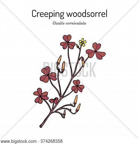 Creeping Woodsorrel, Or Procumbent Yellow Sorrel, Sleeping Beauty Oxalis Corniculata , Medicinal Pla