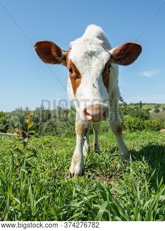 Close-up Head Of Funny Cow In Bright Sunlight. Fur Cow Snout.