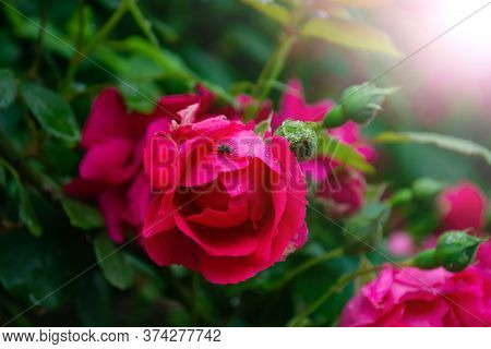 Huge Flowers Of Roses On A Bush Against The Sky