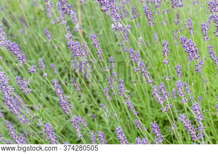 Close-up Of Lilac Colored Blooming Lavender In A Garden In Summer