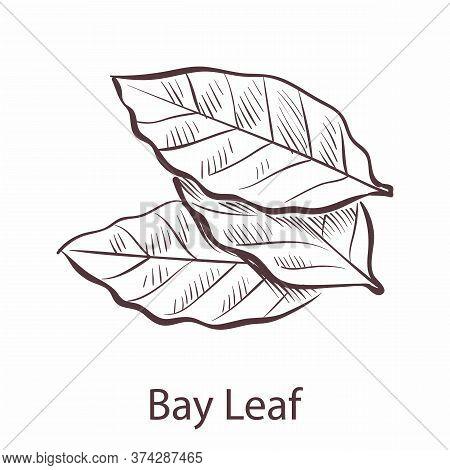 Bay Leaf. Engraved Style Single Illustration Of Seasoning Laurel, Herbal Botanical Sketch, Cooking S