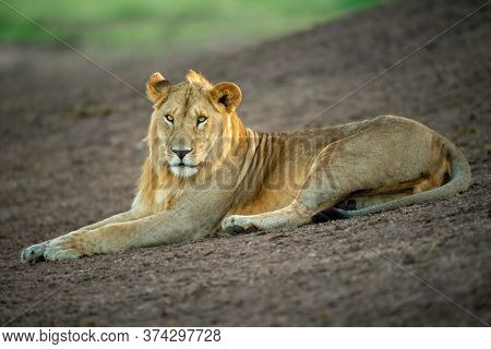 Male Lion Lies On Slope Looking Down