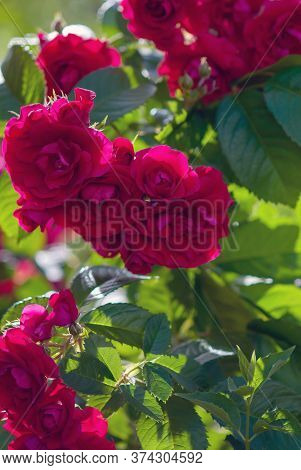 Red Roses Shrub (rosa Gallica Or Rosa Chinensis), Hedge Rose Blooming In Green Summer Garden, Landsc