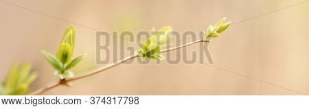 Beautiful Natural Spring Tree Sprouts Background. Light Green Bush Shrub Branches With Small Fresh L