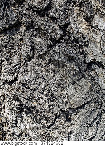 Texture Of The Surface Of The Bark Of An Old Poplar Covered With Cracks And Fractures