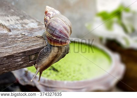 The Giant African Snail Is One Of The Largest Gastropods In The World. This Species Is One Of The Mo