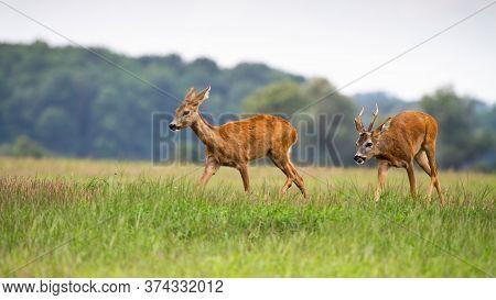 Roe Deer Male Following Female In Rutting Season On The Meadow.