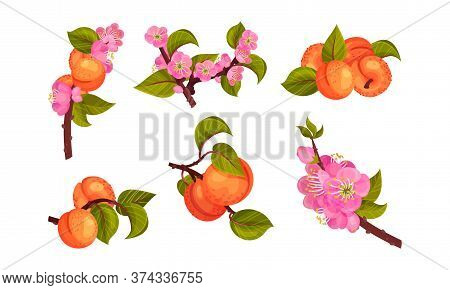 Apricot Drupe Fruit Hanging On Leafy Tree Branch Vector Set