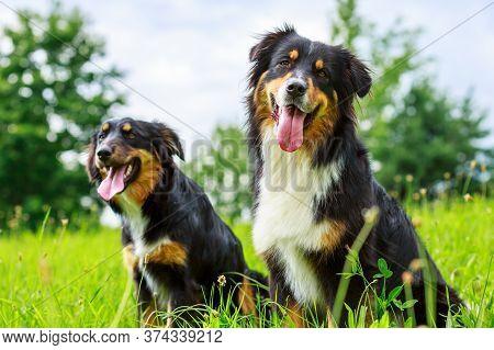 Colorful Portrait Of An Australian Shepherd Dog