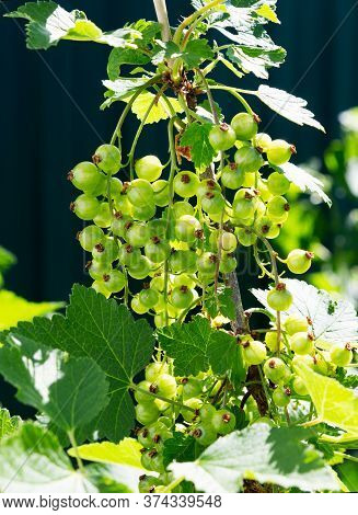 Currant Branch With Fruits. Organic Currant In An Orchard. Branches With Juicy Fruits. Close Up Of T
