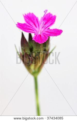 Wild Violet Carnation  Epilobium