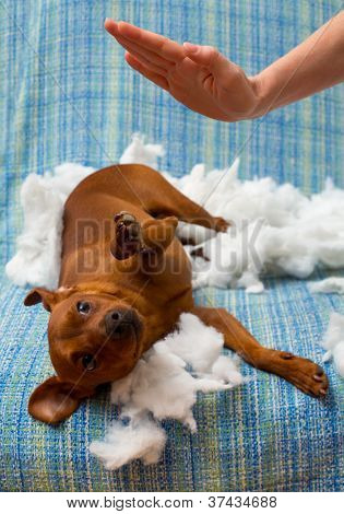 dog naughty puppy being punished after biting a pillow brown mini pinscher