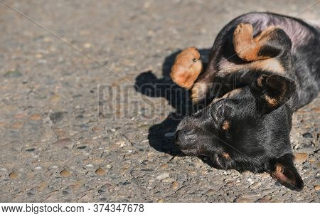 Toy Terrier Dog Laying On A Ground On A Back With Paws Folded. Cute Little Dog Under Sunshine. Toy T