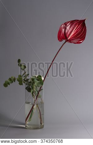 Beautiful Dark Red Blossoming Single Anthurium Flower On Gray Background, Close-up View