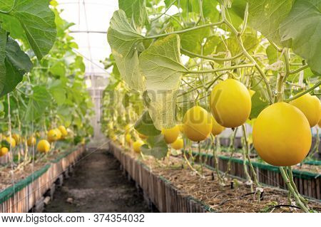 Fresh Organic Yellow Cantaloupe Melon Or Golden Melon Ready To Harvesting In The Greenhouse At The M