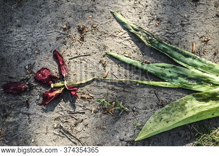 Wilted Tulip Flower, Trampled On The Ground. Close-up. The Concept Of Death, Aging, Decline. Decaden