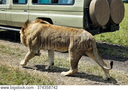 A Wild, Strong, Beautiful And Free Lion Calmly Walks Along The Path In The Savannah Next To The Car.