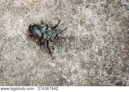Stag Beetle Isolated On The Ground. Endangered Species. European Insects