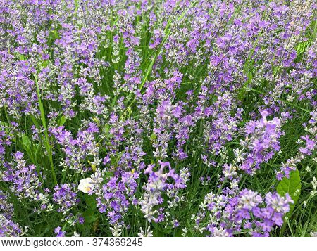 Image Of Lavandula Background. Avandula (common Name Lavender) Is A Genus Of 47 Known Species Of Flo